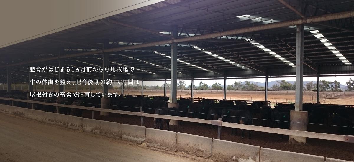 肥育がはじまる1ヵ月前から専用牧場で牛の体調を整え、肥育後期の約1ヵ月間は屋根付きの畜舎で肥育しています。