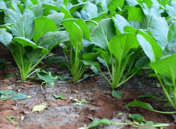 グリーンアイオーガニック 千葉県産 小松菜