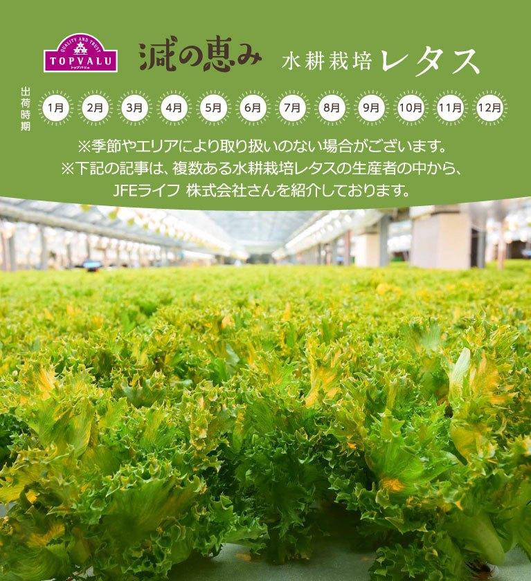 水耕栽培 レタス ※季節やエリアにより取り扱いのない場合がございます。 ※下記の記事は、複数ある水耕栽培レタスの生産者の中から、JFEライフ 株式会社さんを紹介しております。