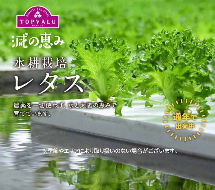 水耕栽培 レタス