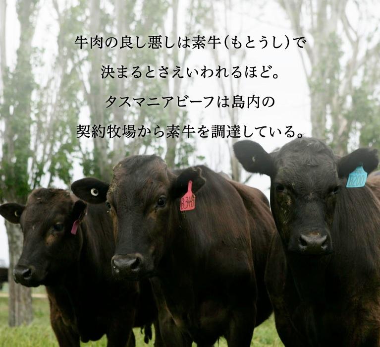 牛肉の良し悪しは素牛(もとうし)で決まるとさえいわれるほど。タスマニアビーフは島内の契約牧場から素牛を調達している。