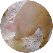 一口に「安全・安心」といってもレベルはいろいろある。ことナチュラルポークに関していうと、「徹底してこだわる」といえるだろう。まずエサにこだわる。豚の体を作るのはほかでもないエサだ。一般的に主なエサであるとうもろこしや大豆は輸入に頼っているが、そのほとんどが遺伝子組換え作物(GMO)といわれる。 世界的にGMOの作付面積は増加の一途をたどり、GMOでない飼料の入手は年々難しくなり、正直コストも高い。しかし、たとえ見えないところであっても、手間とコストをかけて安全・安心にこだわる。 それがナチュラルポークの基本スタンスだ。
