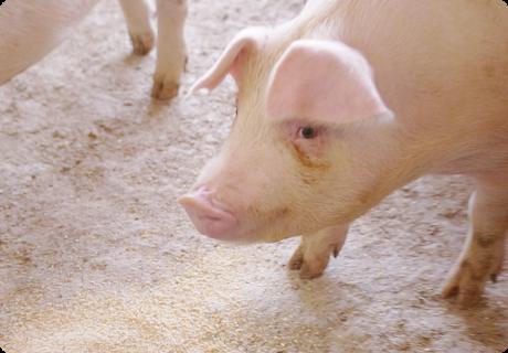 もちろん味にもこだわる。生後約60日の子豚期からは、とうもろこしなどに国産飼料用米(玄米)を配合した飼料を給餌。お米を配合した飼料で育った豚肉の脂は、甘みと旨みが増すとされており、なめらかな食感とクセのない香りが特長のおいしい豚肉ができるのだ。