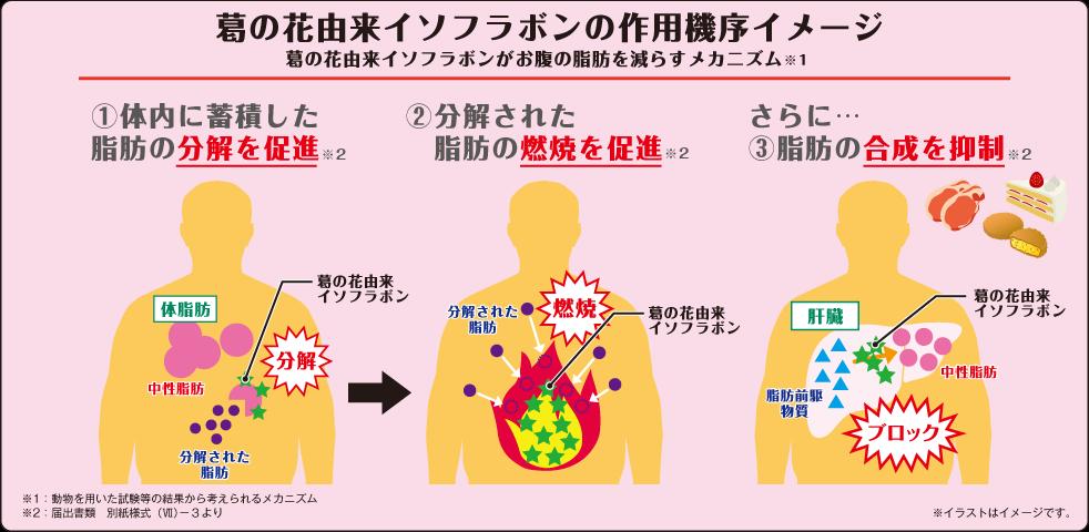 葛の花由来イソフラボンの作用機序イメージ