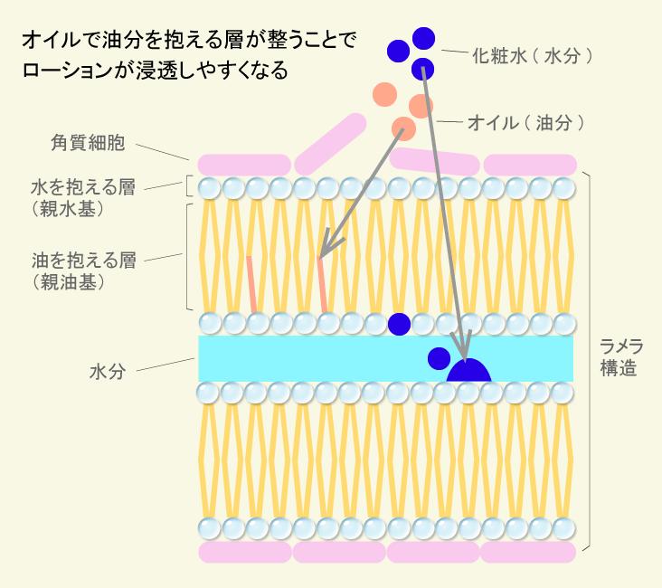 お肌の表面は角質細胞が並んでいます。その隙間を埋めているのが細胞間脂質。